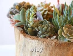 Succulent Arrangement Living In Grace's Hand-carved Wooden Bowl